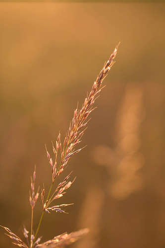 Grass in the morning light | by Infomastern