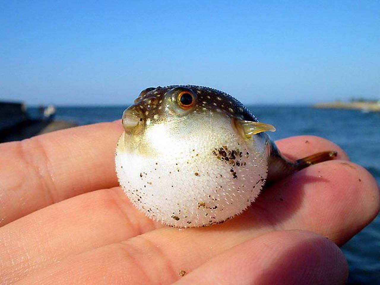 27 Adorable & Tiny Animals That Are Too Cute To Handle #15: Puffer Fish