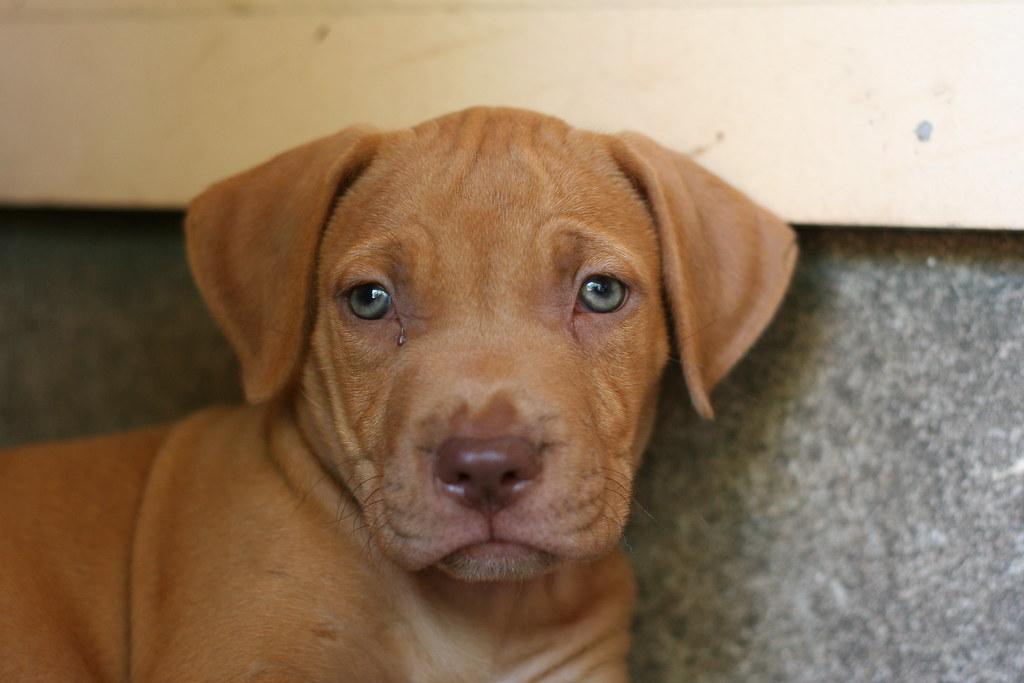 brown red nose pitbull puppies wwwpixsharkcom images