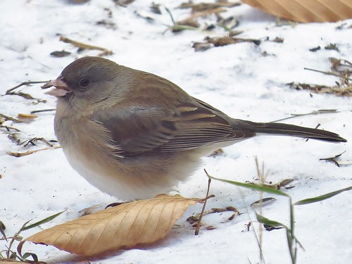 Possible Pink-sided Junco? | by Birdguy200