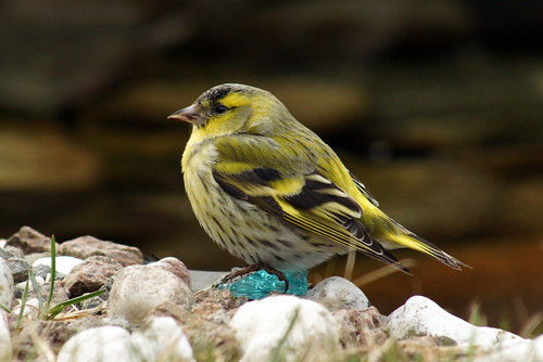 Eurropean Siskin (male)  Carduelis spinus | by manum.net - Photos from Manum Gård