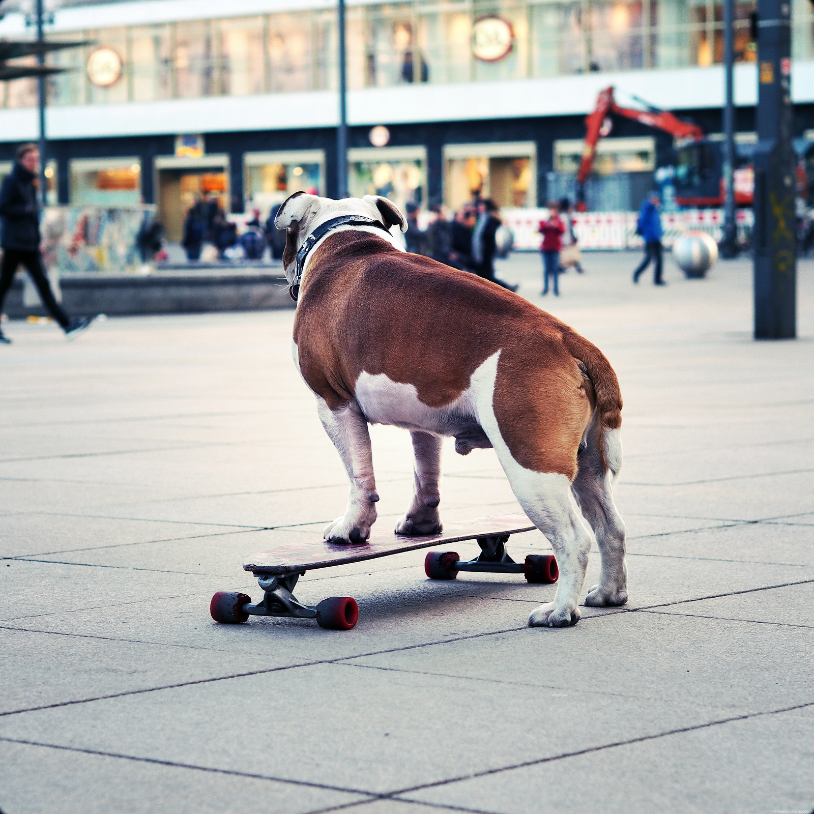 Skateboarding Skate Board Dog Famous Berlin_effected