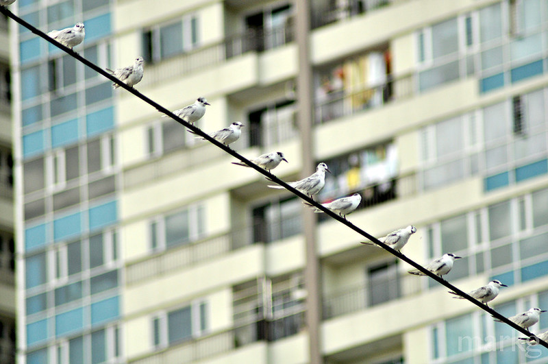 whiskered terns on power line