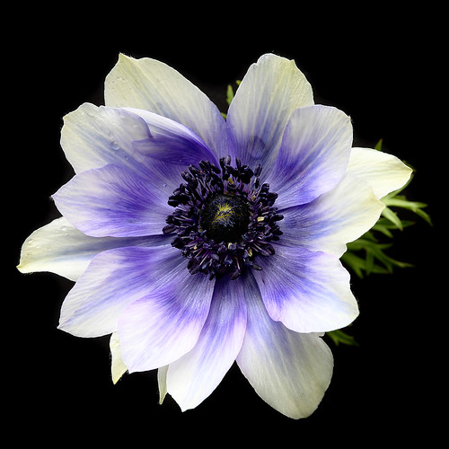 a heart of blues poppy anemone kronen anemone anemone. Black Bedroom Furniture Sets. Home Design Ideas