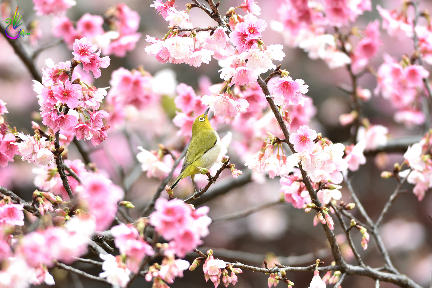 Sakura_White-eye_0272