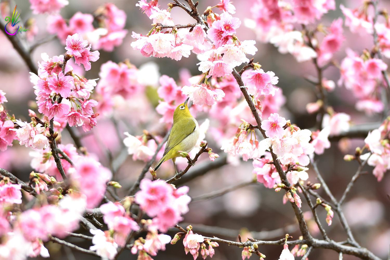 Sakura_White-eye_0272