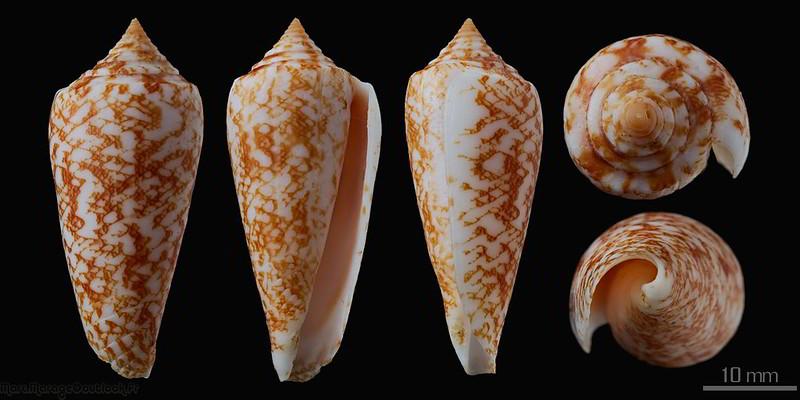 Conus (Phasmoconus) lienardi  Bernardi & Crosse, 1861 - Page 2 32760122786_fbca1479aa_c