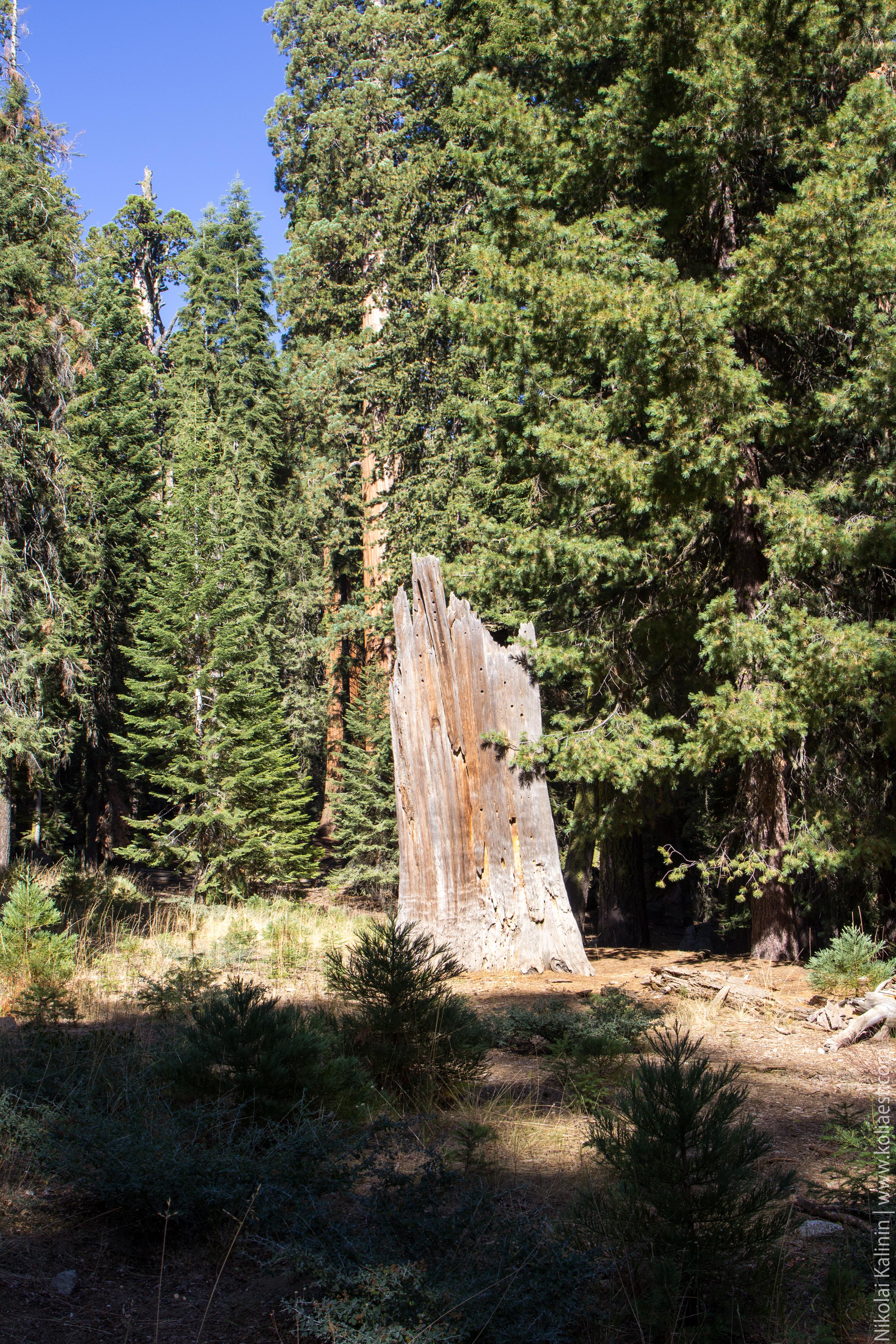 Sequoia-40
