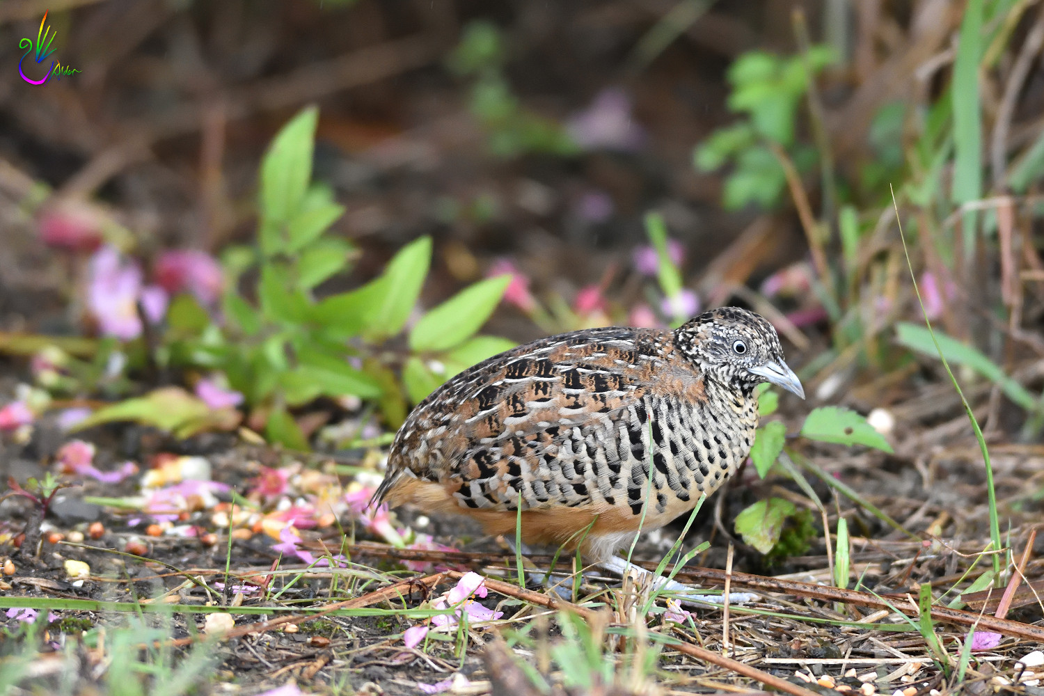 Barred_Buttonquail_7210