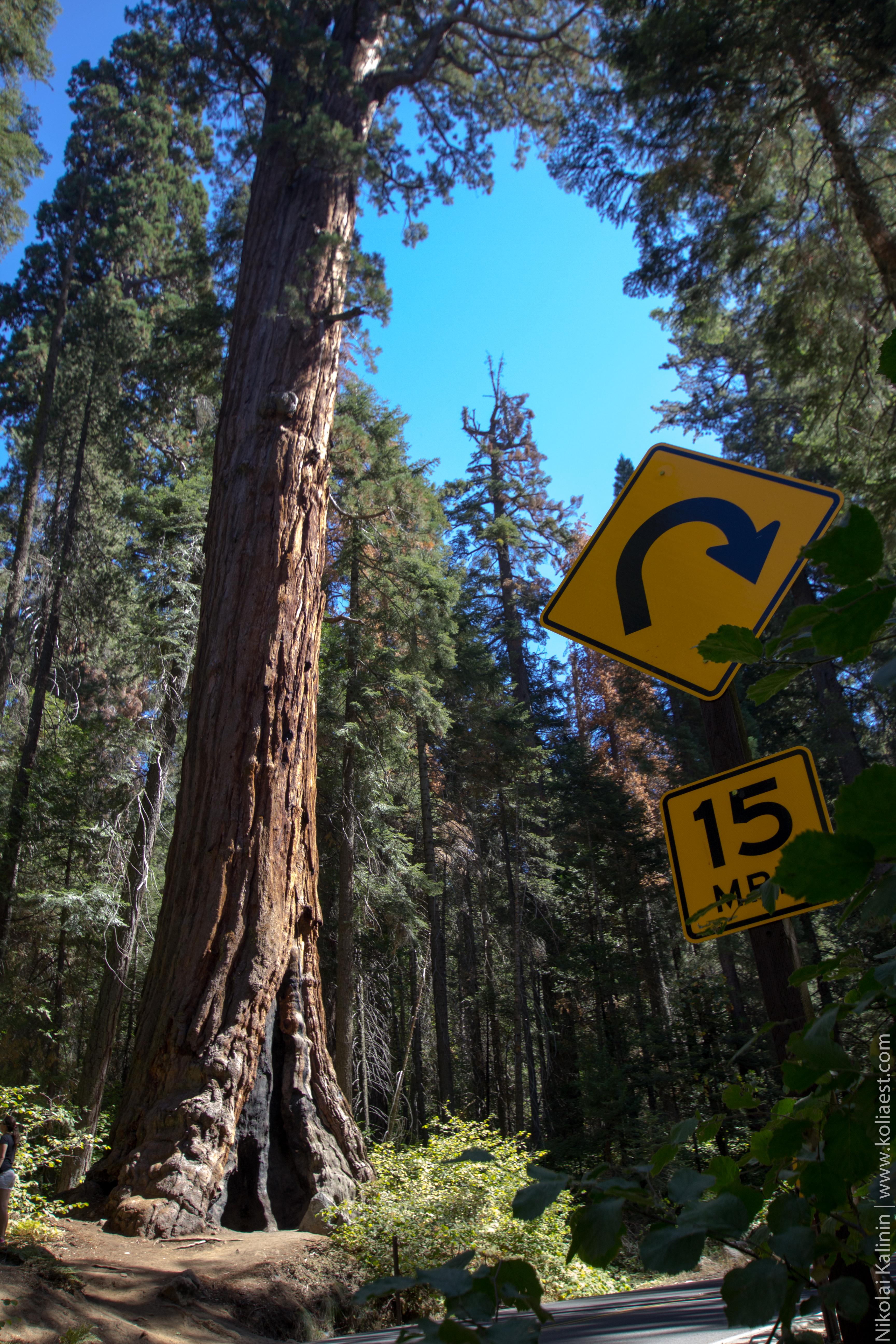 Sequoia-68
