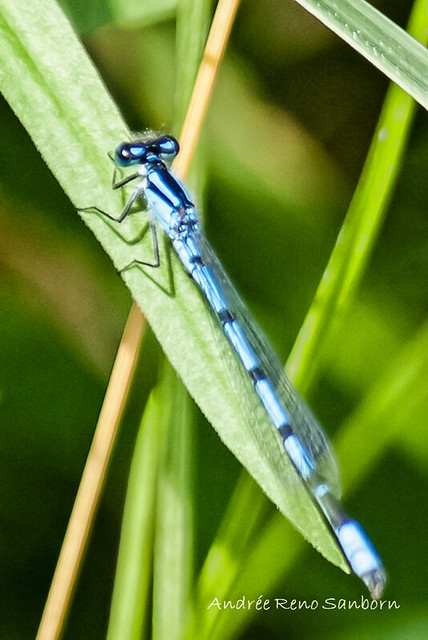 Familiar Bluet (Enallagma civile)