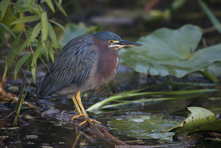 Green Heron | by Rob & Amy Lavoie