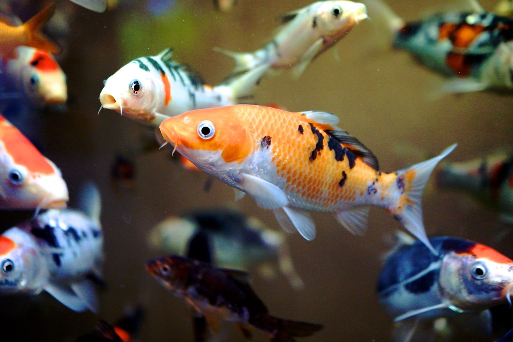 Image gallery baby koi for Baby koi fish