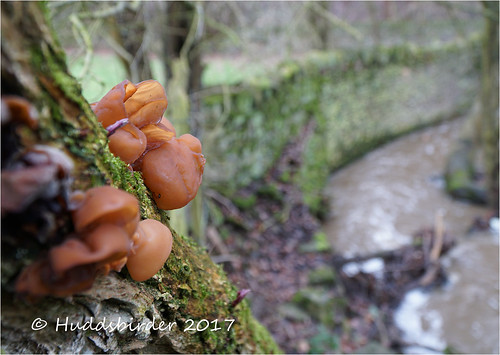 Jelly Ear Fungi