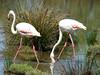 043 flamingo's