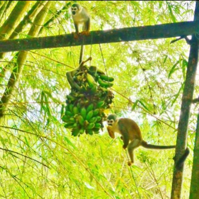 Monkeys Banana Zoo Wild Free Payaso Green Ecuador Flickr