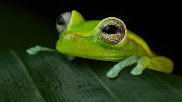 Polk-a-dot treefrog (Hypsiboas punctata) 2
