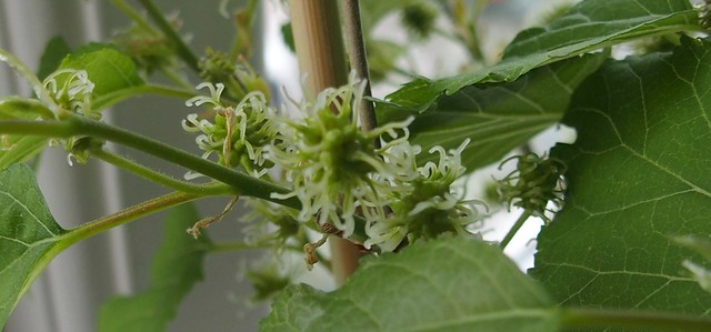 Mulberry 'Charlotte Russe' in flower