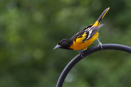 Baltimore Oriole | by Kinchan1