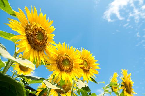 Summer 2 Sunflowers Of Akeno Please Take Care
