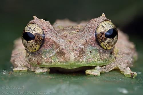 Mossy Tree Frog (Philautus macroscelis) IMG_1350 stk copy