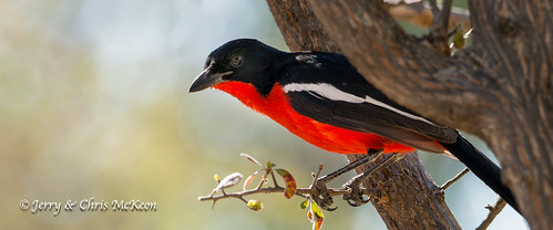 Crimson-breasted Shrike | by jaycees2012