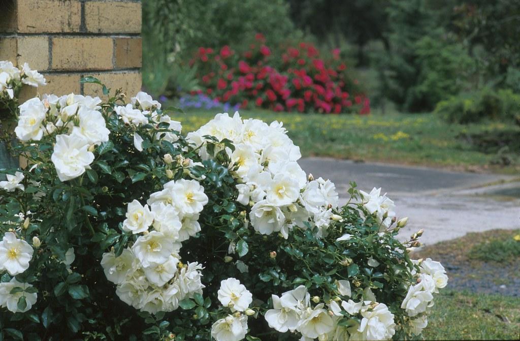 Flower carpet white rose on brick wall easy care flower ca flickr flower carpet white rose on brick wall by tesselaarusa mightylinksfo