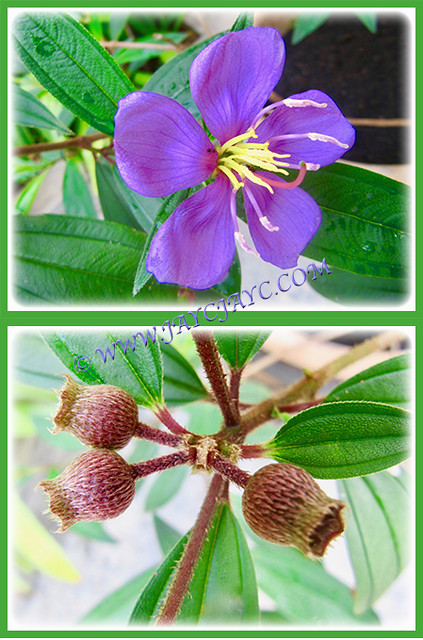 Flower and seedpods of Tibouchina mutabilis, 17 Jan 2017