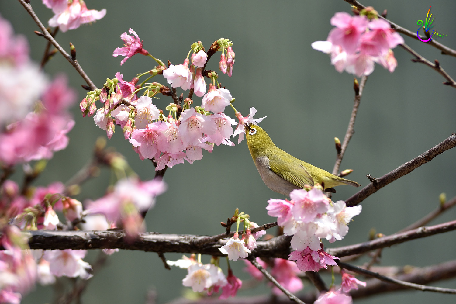 Sakura_White-eye_9145