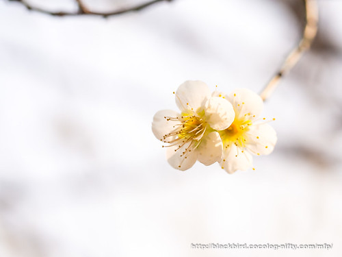 Plum blossoms 20170319 #04