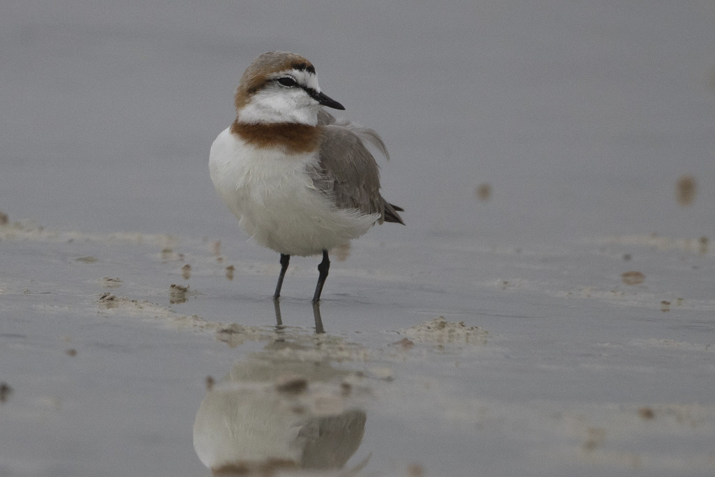 Chestnut-banded Plover Charadrius Pallidus
