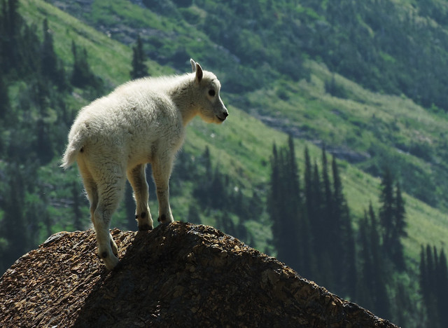 Baby Animals: Baby mountain goat in Glacier National Park