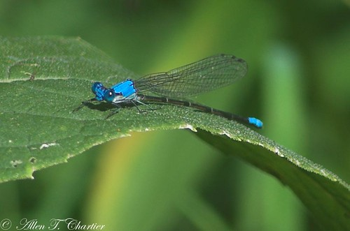 Argia apicalis (Blue-fronted Dancer)