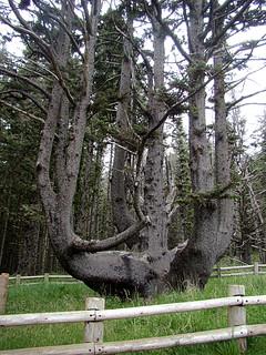 012 Octopus tree