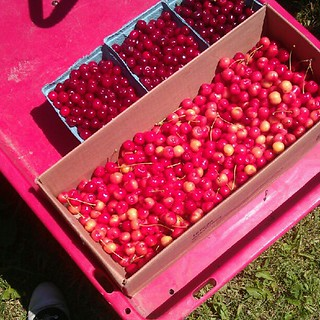10 pounds of cherries hand picked by me. | by 16_sparrows