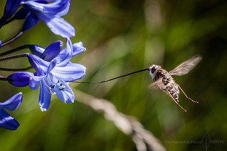 Long tongue fly | by Michael_Whitehead