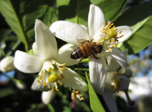 bee & orange blossom | by Abby flat-coat