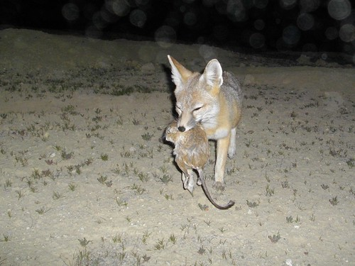 kit fox w krat | by randomtruth