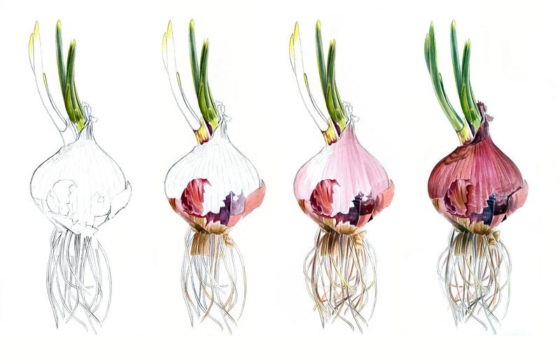 onion+