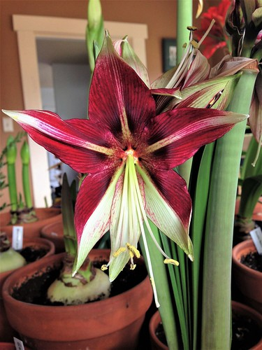Amaryllis Ruby Star