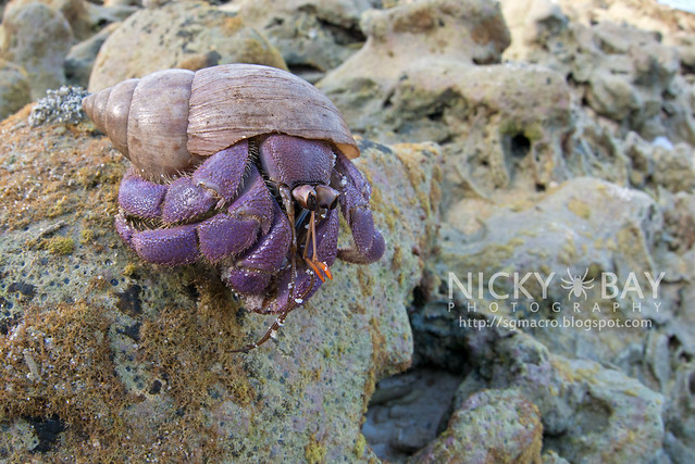 Land Hermit Crab (Coenobita sp.) - DSC_6959