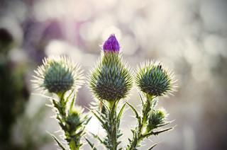 Scottish thistle | by Indigo Skies Photography