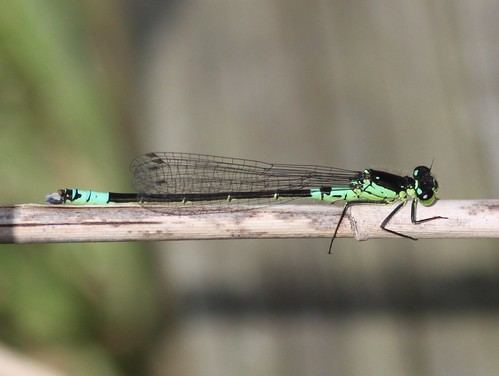 Norfolk Damselfly (Coenagrion armatum) Male | by Rezamink