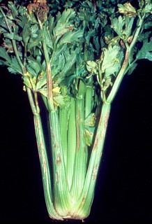 Celery: Septoria apii (late blight) | by Plant pests and diseases