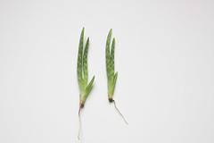 Aloe Vera Baby Plant Belle Fleur De Lis Flickr