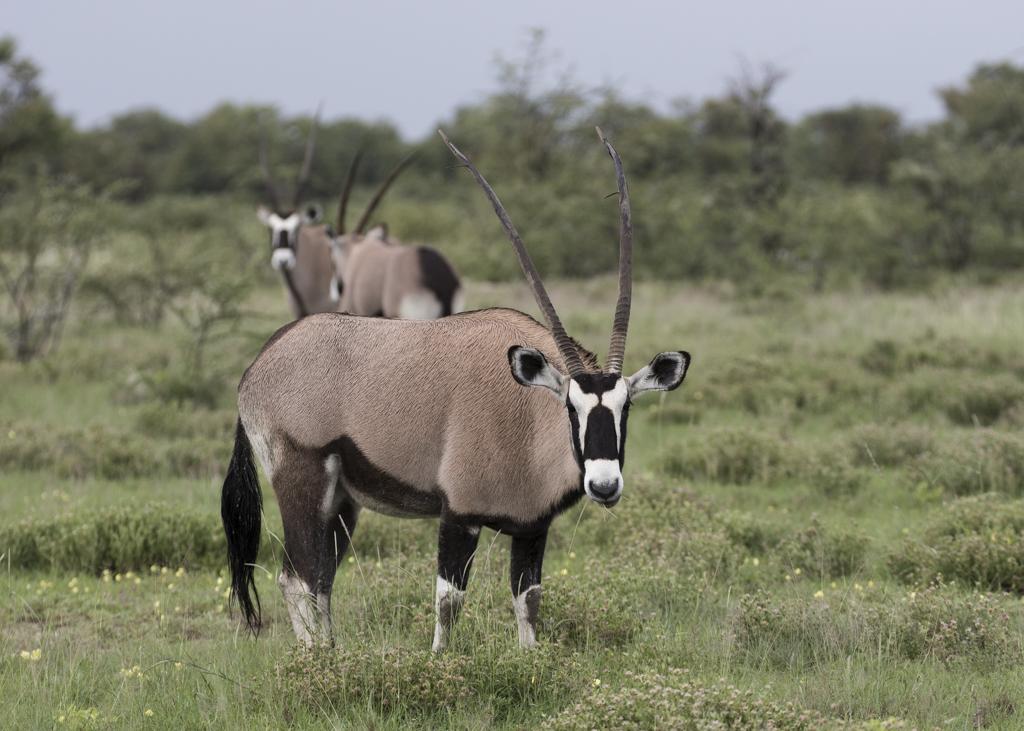 Southern Oryx (Gemsbok)