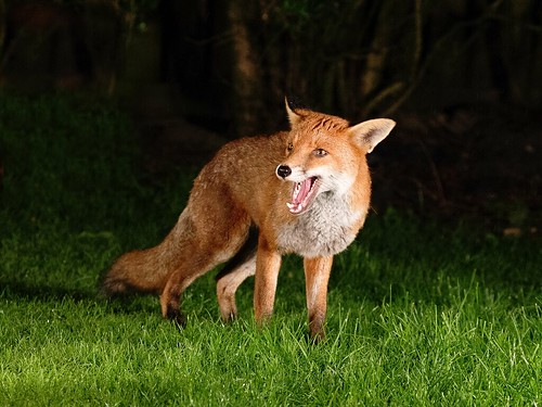 Fox | by Chas Moonie-Wild Photography