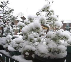 Sneeuw_op_Bonsai