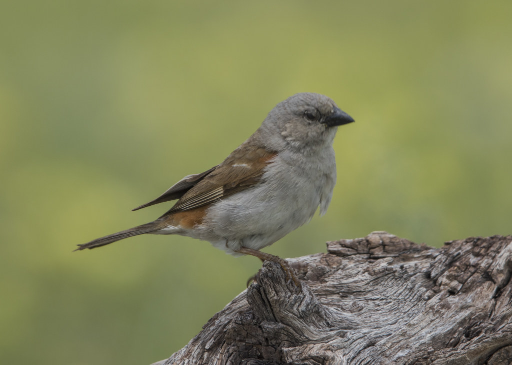 Southern Grey-headed Sparrow.  Passer Diffusus