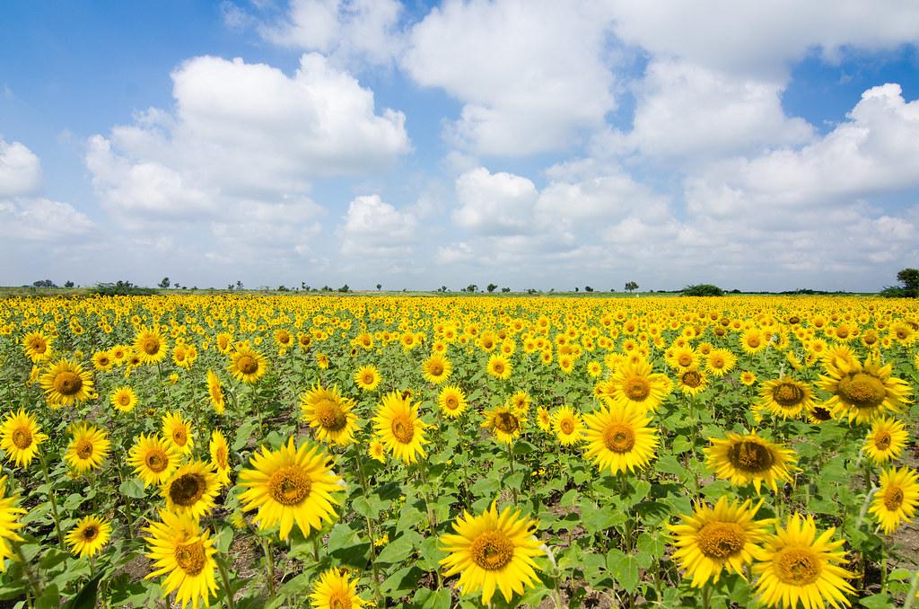 Resulta ng larawan para sa sunflower farm